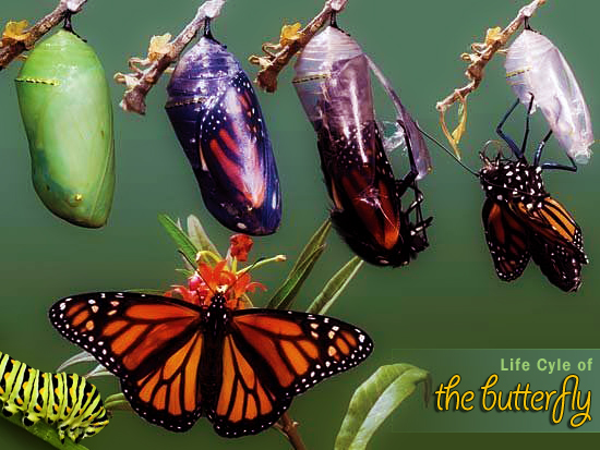 Animal Symbolism Meaning Of The Butterfly Wanders Re Awakening